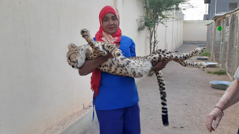 Somaliland: East Africa's largest conduit for illicit cheetah trafficking to the Gulf Global Initiative Against Transnational Organised Crime